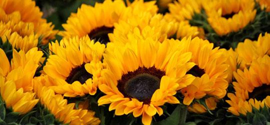 Zonnebloemen laten leggen